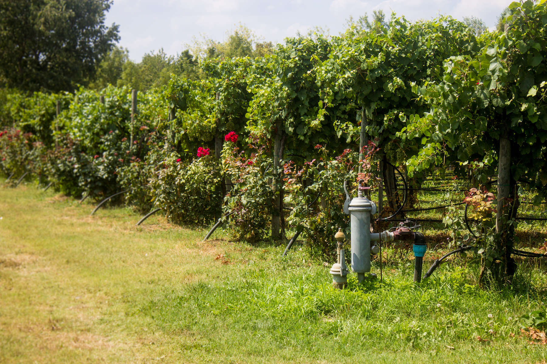 En blanding af Trebbiano- og Lambrusco-druer udgør Leonardis balsamico.